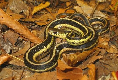 Garter Snake - reptile, snakes, nature, snake
