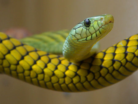 Green And Yellow Snake - snakes, snake, reptile, nature