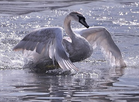 Bathing goose - sparkling, ocean, beautiful, waves, goose, sea, bird, bathing, crisp