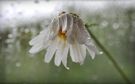 Camomile_rain. - flowers, beauty, white, water, nature, rain, flower