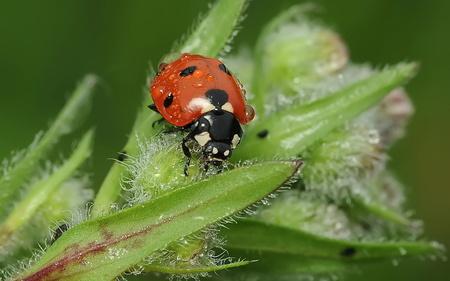 ladybug - r, o, l, i, n