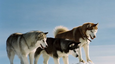 Siberian Huskies - siberian husky, huskies, alaska, beautiful, winter, cold, russia, snow, russian, siberia, dogs, working