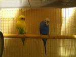 2 Parakeets