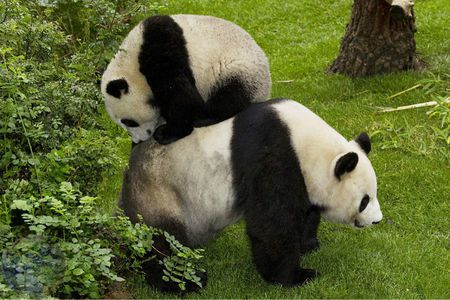panda family - Bears & Animals Background Wallpapers on ...