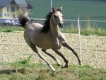Galloping Gray Arabian