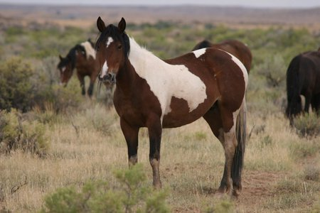 Wild paint Mustang - Horses & Animals Background ...