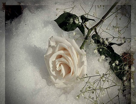 White rose on ice flowers nature background wallpapers - Rose in snow wallpaper ...