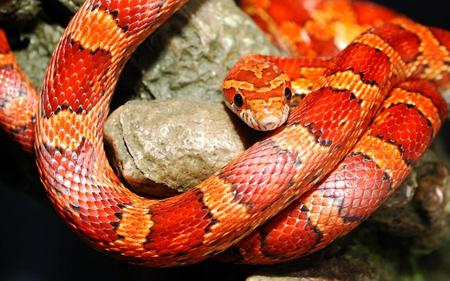 Snake - python, snake, red, reptiles, animals