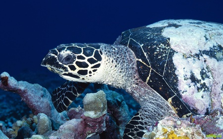 Turtle - fish, life, ocean, turtle, water, sea, coral