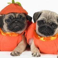 Scary Halloween Pugs!!!