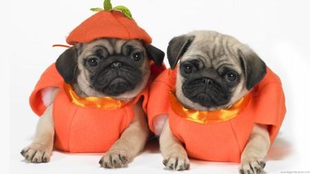 Scary Halloween Pugs!!! - halloween, puggles, pugs, nature, pumpkins, costumes
