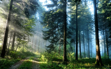 PINE FOREST PATH - light, road, sunlight, shine, blue sky, pine, dark, path, nature, forest, beautiful, foggy, pathway, morning