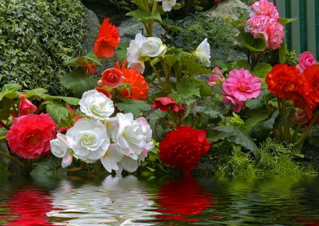 By the water's edge - white red pink, green, flowers, river, edge, reflections, roses