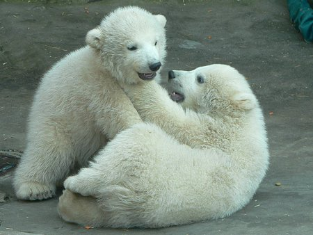 Polar Fight - white bears, bears, polar bears, funny animals, polar bears fighting, nature, hunters, baby polar bears, wildlife