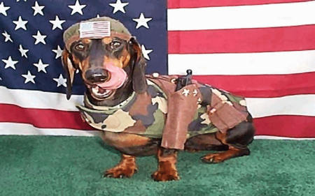 Camo Doxie Dogs Amp Animals Background Wallpapers On