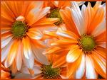 Tangerine and white