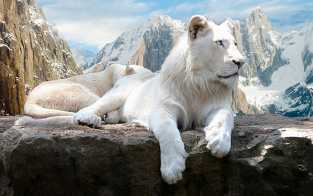 white lion - lion, white, cat, awesome, king