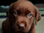 Sweet chocolate puppy