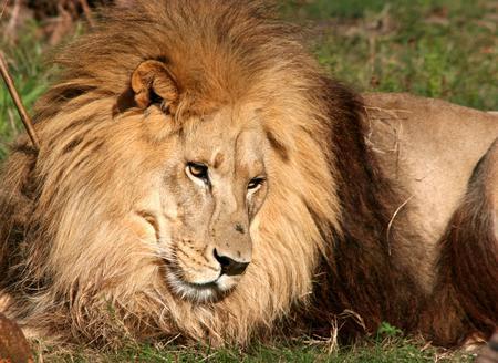 Leo the Lion - animal, grass, lion, cat