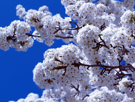 Spring is here - spring, beautiful spring, sky, tree, blossom, flower, beauty, white, blue