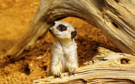 Meerkat - africa, mammal, namibia, meerkat