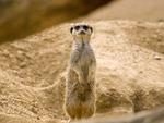 Sweet meerkat
