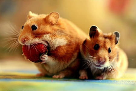 Snack Time - comical, strawberry, food, hamsters, funny, snack, eating