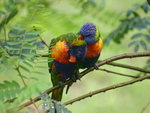 Rainbow Lorikeets for Jackie,Cat-Lover