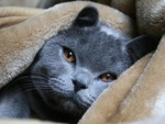 Grey russian blue cat