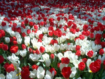 White and red flowers nature background wallpapers on desktop white and red red tulips white tulips flowers spring beautiful tulips mightylinksfo