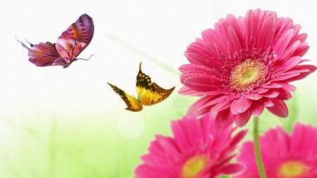 Gerber Daisy Butterfly Dance