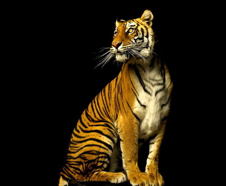 tiger queen cats animals background wallpapers on desktop nexus