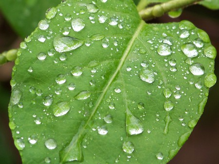 Raindrops on a Forest Leaf - raindrops, green, leaf, rain
