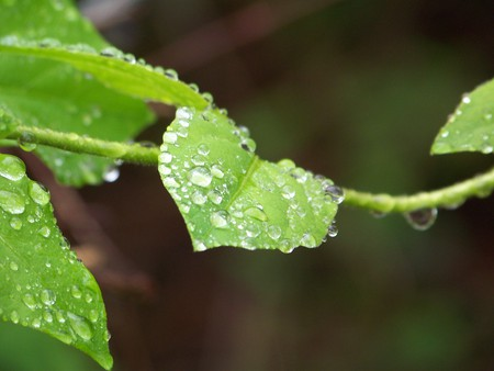 Wet Vines - rain, leaf, raindrops, vine