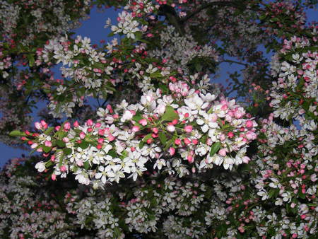 Blossom at night - tree, leaves, blossom, green, garden, white, pink, night