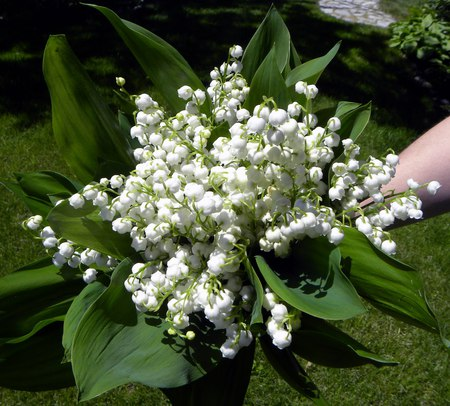 lily of the valley - forest, lilly of the valley, flowers, spring, fragrance