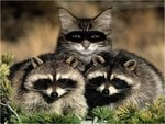 Cat with raccoons