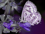Purple mellow