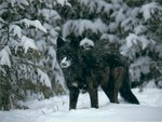 Black Wolf In The Snow!!!!
