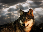 Beautiful Wolf Wallpaper
