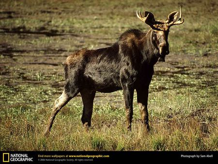 Cute Baby Moose - moose, grass, elk, nature, baby animals, deer
