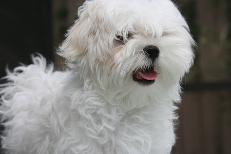 White Fluffy Puppy - cute dogs, fluffy animals, white puppies, puppies, nature, animals
