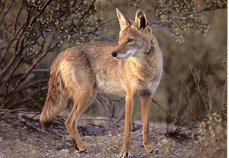 Coyote in a Forest - forest, foxes, coyote, nature, wolves