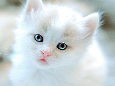 Adorable Kitten - kitty, adorable, white, cat, blue eyes, white cat, kitten, cute