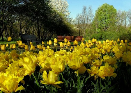 Sunshiny Day - yellow tulips, benches, garden, tulips, trees