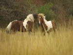 Wild Paint Horses Fighting in a Field