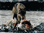 Alaska Dall Ram Killed By Wolves.