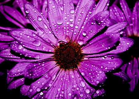 Drops... - flowers, beauty, beautiful, lovely, drops, purple, petals, nature