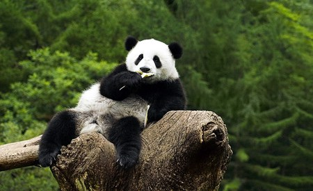 Comfy One - bears, animals, panda, tree, comfortable