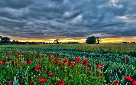 Poppies Field - colorful, fields, grass, peaceful, other, tree, stormy, red, poppy, poppies, flowers, sunset, storm, sky, colors, splendor, nature, poppies field, trees, houses, beauty, beautiful, lovely, clouds, field, pretty, house, green, view
